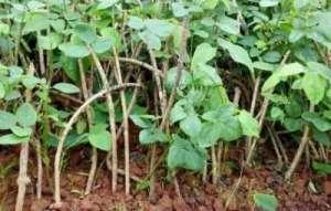 八月瓜种苗价格大概是多少钱一斤?如何种植?